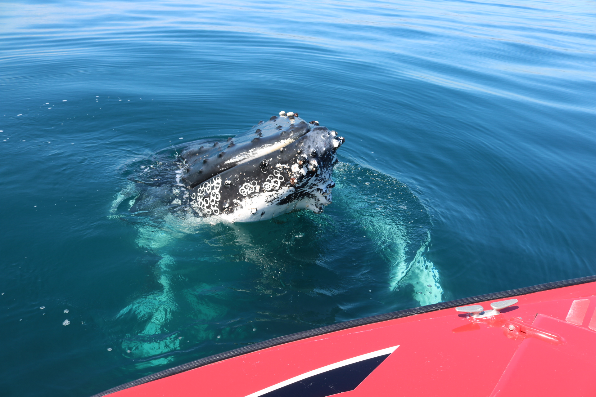 Humpbacks are an inquisitive whale