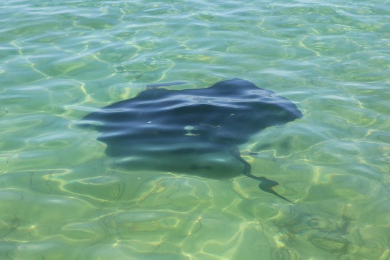 Eagle Rays are a common sight in the shallow bays around Dunsborough in Western Australia
