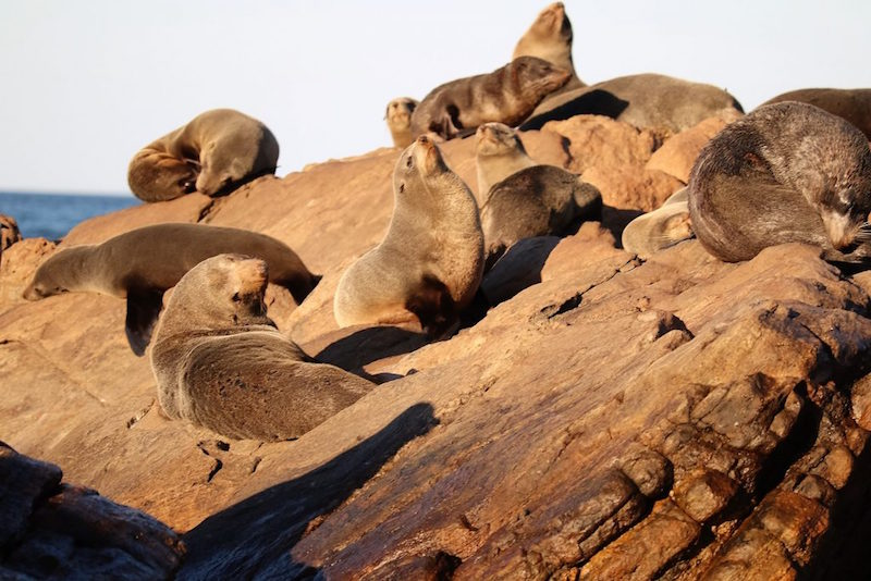 Sunning themselves off the cliffs at Cape Naturalist, only accessible by sea is a New Zealand Fur Seal colony.