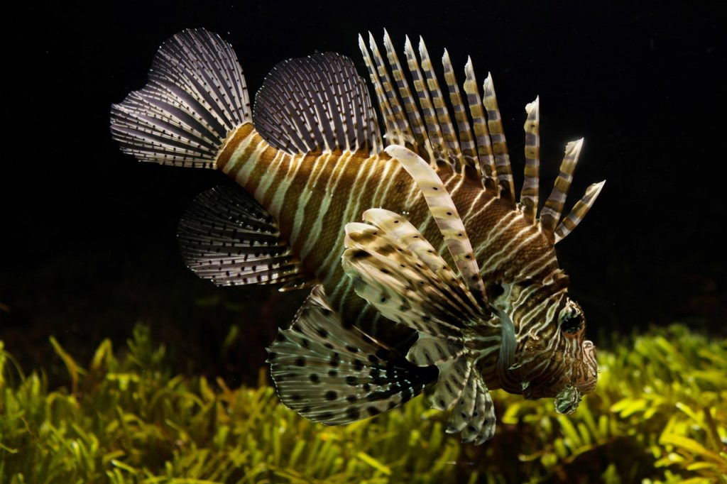 Lion Fish have been spotted by divers