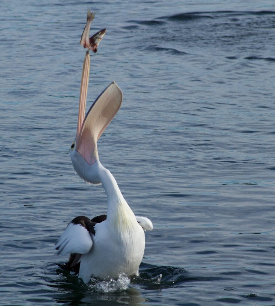 This happy pelican has found a fish!