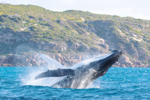 See whales breaching and swimming in the wild